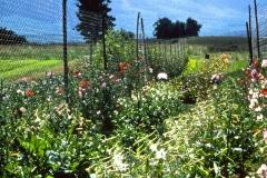 Carmel_090_1979_X_X_The-Chadwick-VA-Garden_photo-courtesy-The-Chadwick-Society