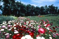 Carmel_095_1979_X_X_The-Chadwick-VA-Garden_photo-courtesy-The-Chadwick-Society