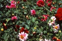 Carmel_096_1979_X_X_The-Chadwick-VA-Garden_photo-courtesy-The-Chadwick-Society