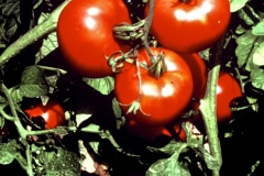Carmel_107_-1979_X_X_Tomatoes-In-Forcing-House_7_photo-courtesy-The-Chadwick-Society
