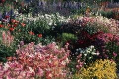 Covelo-08_The-Herbaceous-Border-Flowers_13