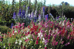 Covelo-08_The-Herbaceous-Border-Flowers_15