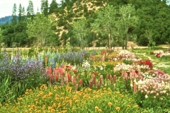 Covelo-08_The-Herbaceous-Border-Flowers_19