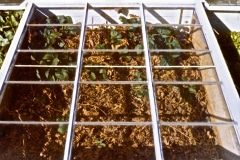 Covelo-12_GColdframes-Propagation-Various_09
