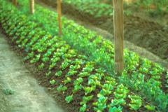 Covelo-04_03_1977_X_X_Garden-Bed_2_Photo-by-Richard-Joos