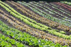 Green-Gulch_14_x_x_x_Greens-in-Production-Garden_photographer-unkown