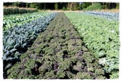 Green-Gulch_15_x_x_x_Production-Area-Garden-for-Greens