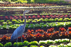 Green-Gulch_17_x_x_x_Blue-Heron-in-Production-Garden