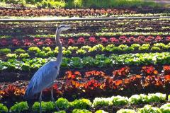 Green-Gulch_17_x_x_x_Blue-Heron-in-Production-Garden