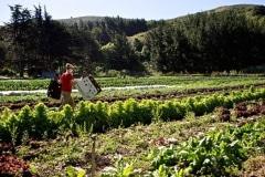 Green-Gulch_18_x_x_x_Green-Gulch-Farm_Harvesting-Produce