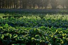 Green-Gulch_24_x_x_x_Green-Gulch-Farm_Production-Garden_Greens
