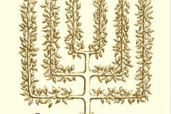 11-French-Intensive-Gardening_Candelabra-Espalier_2_Alans-Garden-Influences