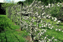 12-French-Intensive-Gardening_Fruit-Tree-Trained-On-Wire_Alans-Garden-Influences