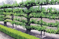13-French-Intensive-Gardening_Fruit-tree-trained-on-structure_Alans-Garden-Influences