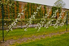 15-French-Intensive-Gardening_Fruit-Tree-Trained-on-Wall_2_Alans-Garden-Influences