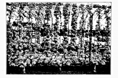 16-French-Intensive-Gardening-Historical-Photographs_Lorette-System-of-Pruning-Photos_Alans-Garden-Influences