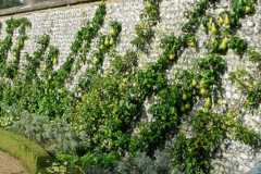 17-French-Intensive-Gardening_Fruit-Tree-Trained-on-Wall_4_Alans-Garden-Influences