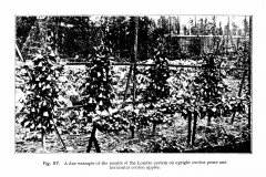 20-French-Intensive-Gardening-Historical-Photographs_Lorette-System-of-Pruning-Photos_Alans-Garden-Influences