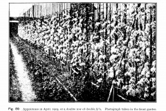 21-French-Intensive-Gardening-Historical-Photographs_Lorette-System-of-Pruning-Photos_Alans-Garden-Influences