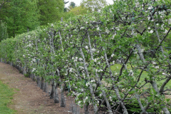 21-French-Intensive-Gardening_Mature-Fruit-Tree-Trained_Alans-Garden-Influences
