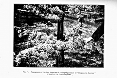 4-French-Intensive-Gardening-Historical-Photographs_Lorette-System-of-Pruning-Photos_Alans-Garden-Influences