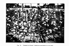 6-French-Intensive-Gardening-Historical-Photographs_Lorette-System-of-Pruning-Photos_Alans-Garden-Influences