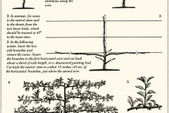 9-French-Intensive-Gardening_Pruning-Technique-For-Fruit_2_Alans-Garden-Influences