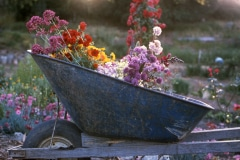 Saratoga_31_The-Saratoga-Garden-Flowers_courtesy-The-Chadwick-Society