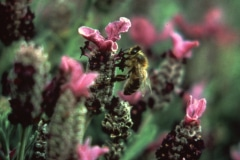 Saratoga_33_The-Saratoga-Garden-Bee-Flower_courtesy-The-Chadwick-Society