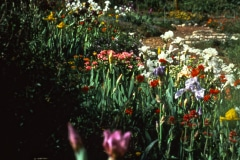 Saratoga_34_Saratoga-CA-Community-Garden-Flowers_The-Saratoga-Garden_courtesy-The-Chadwick-Society
