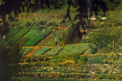 UCSC-00-010_1970_X_X_-UCSC-Alan-Chadwick-Garden-Hillside_photographer-unknown