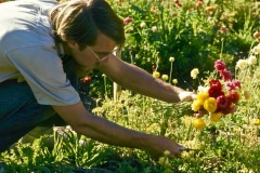21-1970-71_X_X_The-UC-Santa-Cruz-Chadwick-Garden-Collection_Apprentice-working-with-Flowers