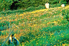 29-1970-71_X_X_The-UC-Santa-Cruz-Chadwick-Garden-Collection_Students-with-Flowers