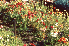 31-1970-71_X_X_The-UC-Santa-Cruz-Chadwick-Garden-Collection_Student-with-Flowers-in-the-Garden