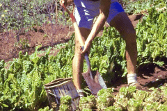 07-1971_X_X_The-UCSC-Photo-Collection_Alan-Chadwick-digging-in-the-Garden__Close-up-photo