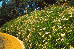 20-X_X_X_UCSC-Chadwick-Garden-Project_flower-border-along-main-drive_photographer-unknown_courtesy-The-Chadwick-Society_20