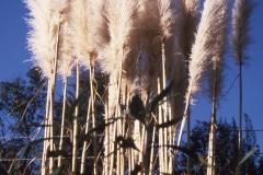 22-X_X_X_UCSC-Chadwick-Garden-Project_Pampas-Grass_photographer-unknown_courtesy-The-Chadwick-Society_22