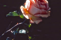 23-X_X_X_UCSC-Chadwick-Garden-Project_a-classic-nonhybrid-Chadwick-Rose_photographer-unknown_courtesy-The-Chadwick-Society_23