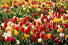 24-X_X_X_UCSC-Chadwick-Garden-Project_Tulip-Plantings_photographer-unknown_courtesy-The-Chadwick-Society_24