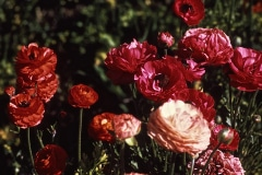 25-X_X_X_UCSC-Chadwick-Garden-Project_Poppies_photographer-unknown_courtesy-The-Chadwick-Society_25