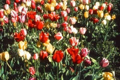 26-X_X_X_UCSC-Chadwick-Garden-Project_Tulips_photographer-unknown_courtesy-The-Chadwick-Society_26