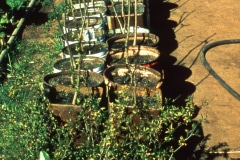 28-X_X_X_UCSC-Chadwick-Garden-Project_Plants-in-Pots_photographer-unknown_courtesy-The-Chadwick-Society_28