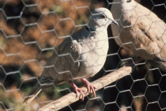 29-X_X_X_UCSC-Chadwick-Garden-Project_Pair-of-Doves_photographer-unknown_courtesy-The-Chadwick-Society_29