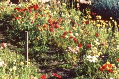 09-X_X_X_UCSC-Chadwick-Garden-Project_apprentice-working-in-the-UCSC-Chadwick-Garden_photographer-unkown_courtesy-The-Chadwick-Society_9