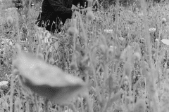 Alan Chadwick with Poppies - UCSC Chadwick Garden, 1968