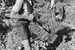 Alan Chadwick Digging in the Garden - UCSC Chadwick Garden, 1972